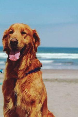 Golden Retriever Mypet Beach Dog LUNA❤️