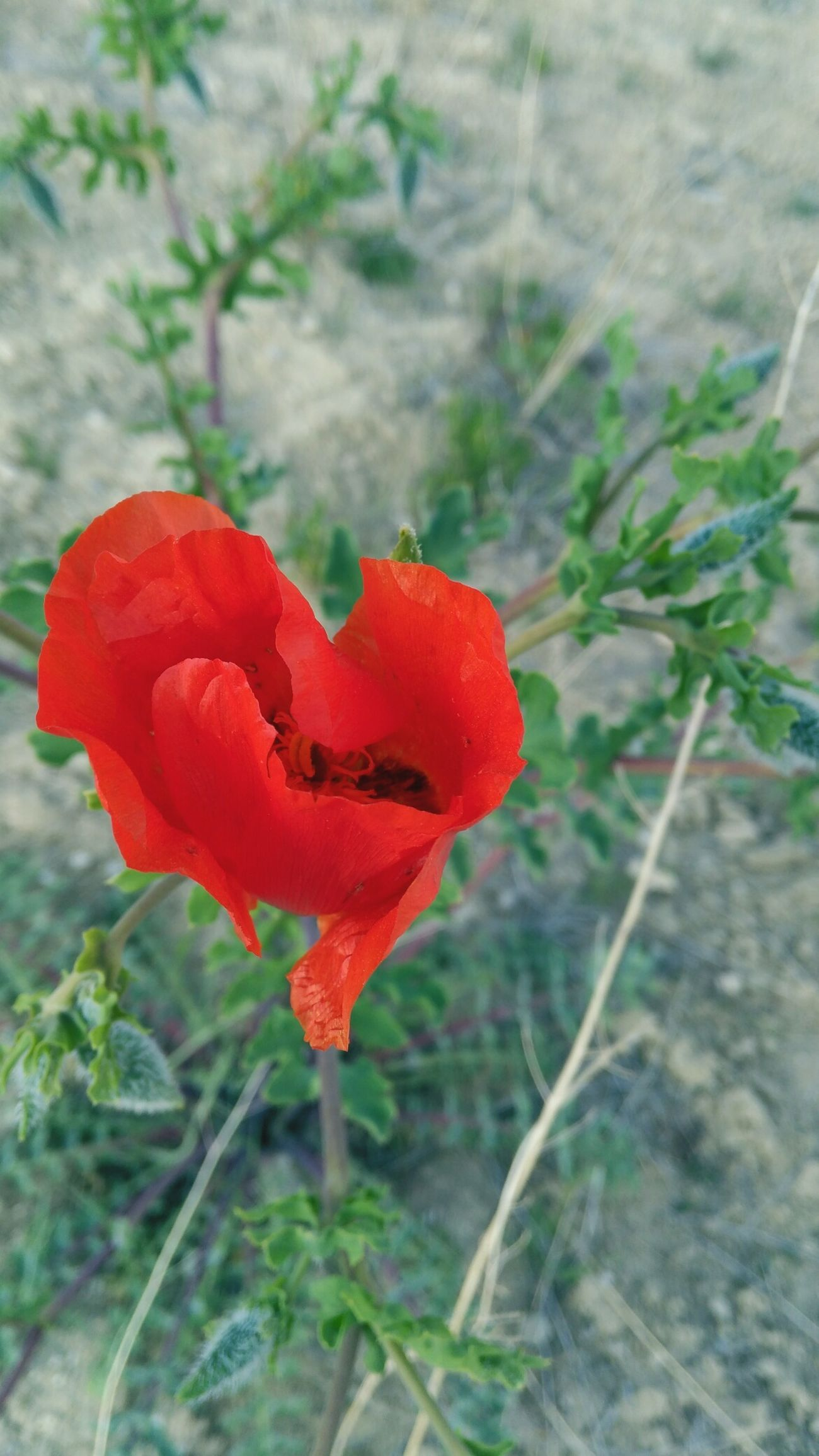 Red Poppy Plant Nature Flower No People Growth Rose - Flower Love Close-up Focus On Foreground Day Valentine's Day - Holiday Outdoors Beauty In Nature Fragility Flower Head Freshness Fly Agaric Mushroom Vodafone Smart Ultra 6 Burdur Türkiye 2017 Looking At Camera Nature