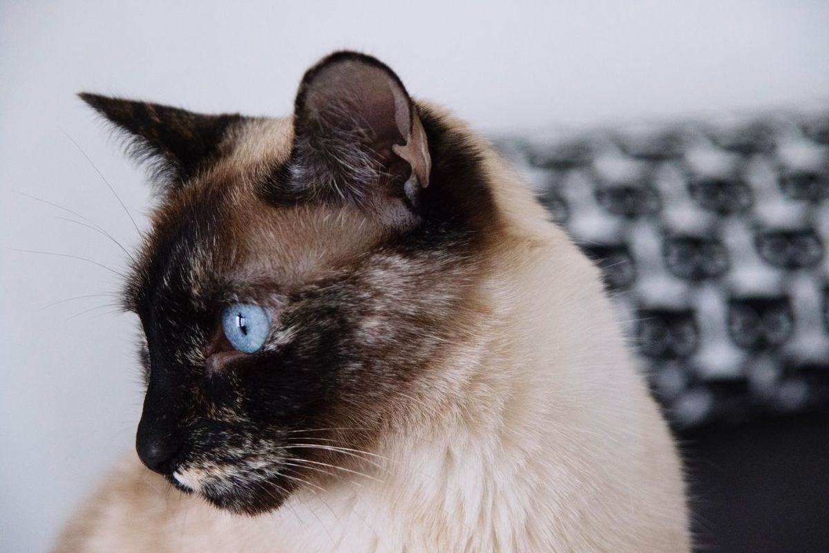 Beauty Cat Domestic Animals Domestic Cat One Animal Pets Animal Themes Mammal Feline Siamese Cat Whisker Focus On Foreground Close-up Cat Photography Cats Of EyeEm EyeEm Animal Lover Cat Portrait Adorable Cute Blue Eyes Tortoiseshell Cat
