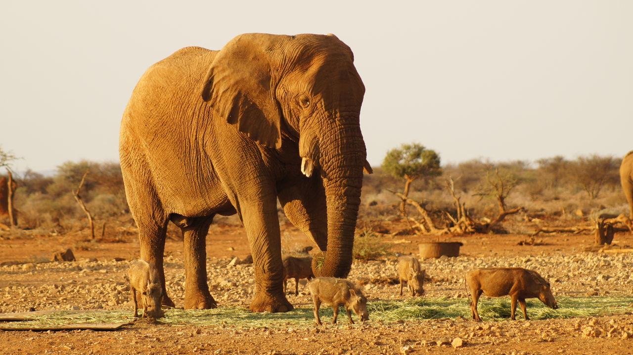 Beautiful stock photos of elefant,  African Elephant,  Animal Themes,  Animal Wildlife,  Beauty In Nature