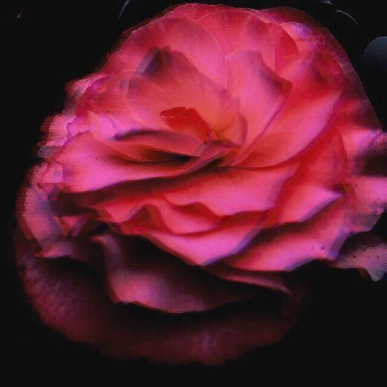 揺らぎ… Flower Beauty In Nature Pink Color Black Background Point Of View 色のある世界