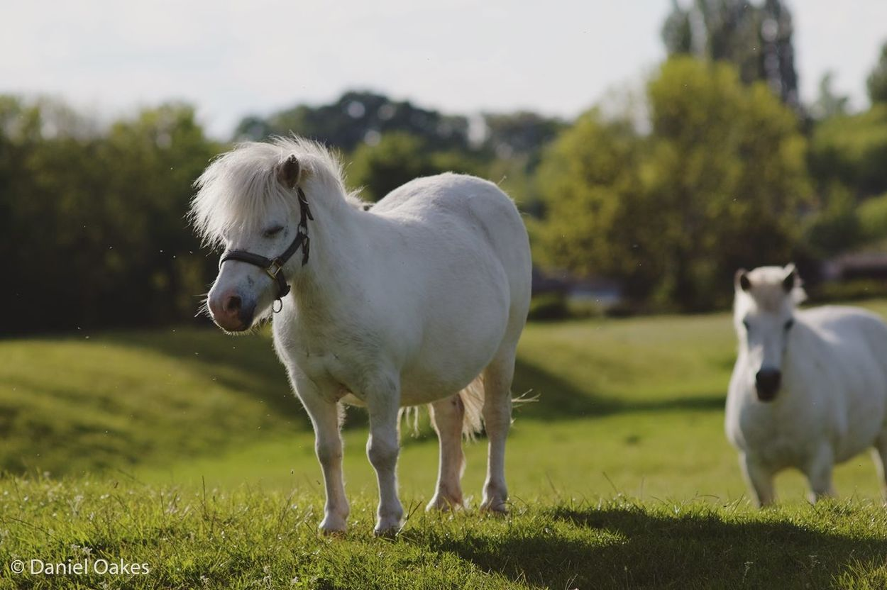 Follow the leader Composition Environment Pony Shetland Pony Horse White Horse White Pony Field Nature Hanging Out Adventure Buddies Discover  Animal Portrait Hello World Nature_collection The Great Outdoors - 2016 EyeEm Awards