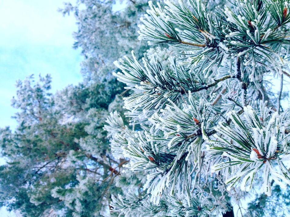 Forest Cold Temperature White Snow ❄ Landscape Morning Trees Beauty In Nature Phonephotography📱 Freezingweather Lovelovelove Amazing View