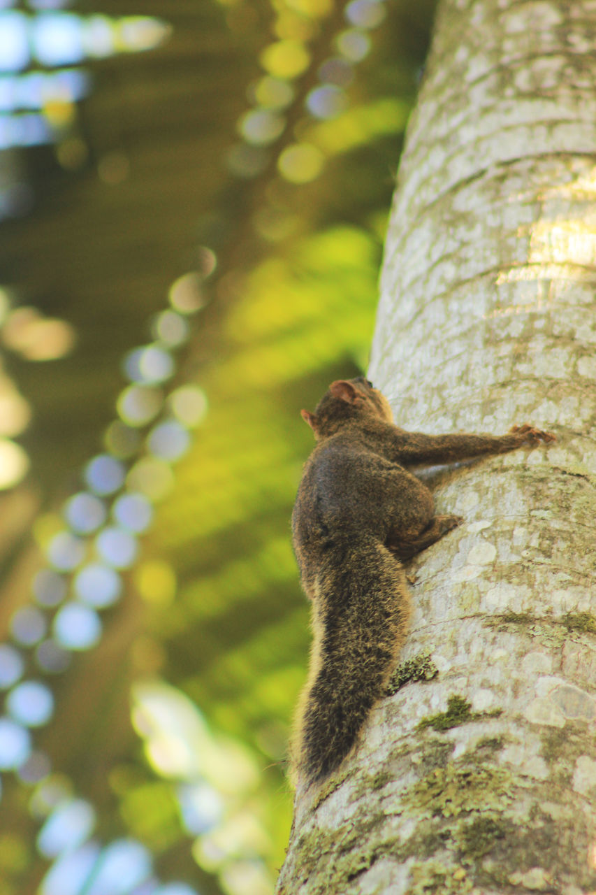 tree trunk, one animal, tree, animal themes, animals in the wild, squirrel, animal wildlife, no people, nature, day, outdoors, mammal, close-up