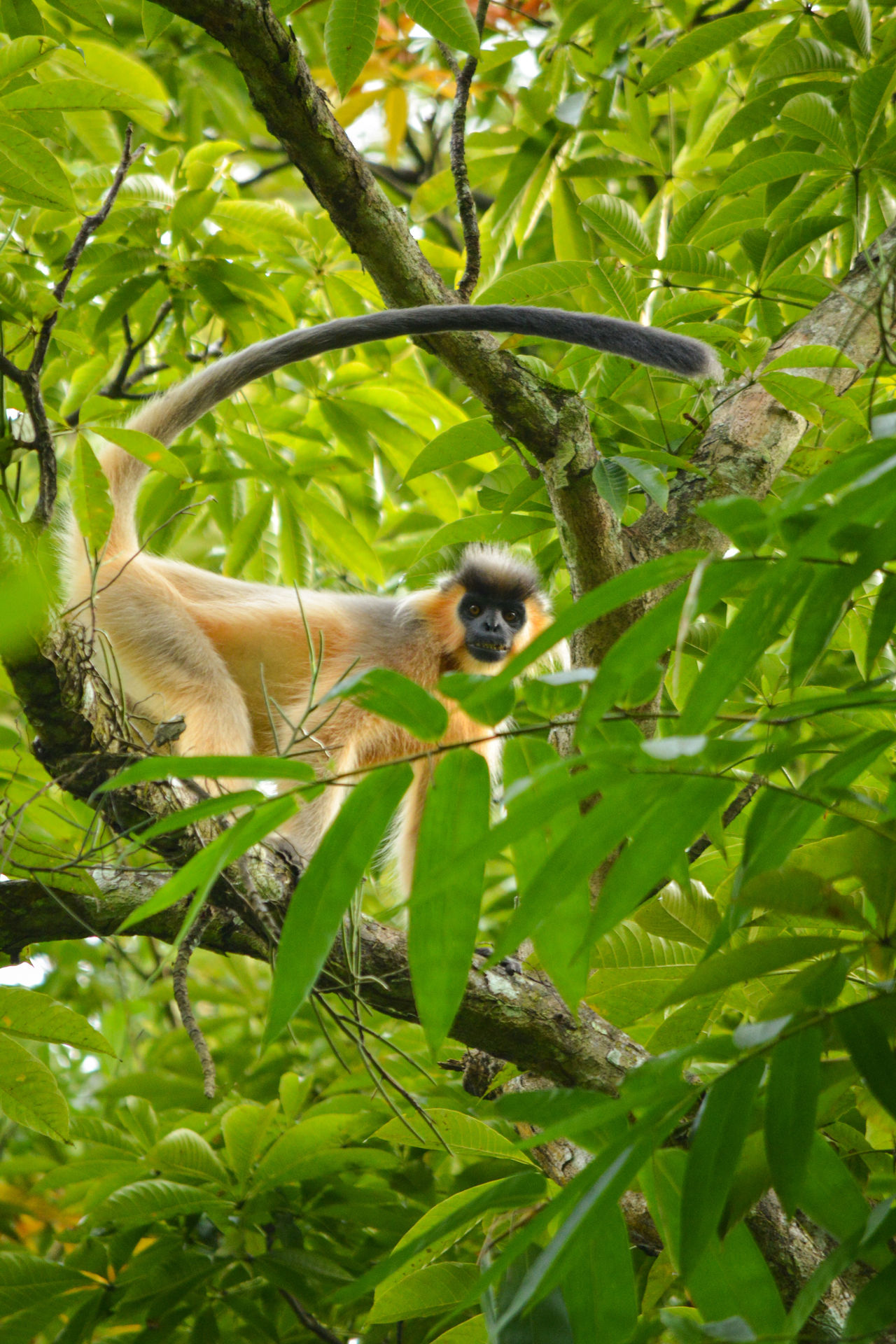 Capped Langur Capped Langur One Animal Animals In The Wild Nature Tree Day Outdoors Beauty In Nature Taking Photos Monkey Forest Monkey Alpha Male Assam, India The Great Outdoors - 2017 EyeEm Awards