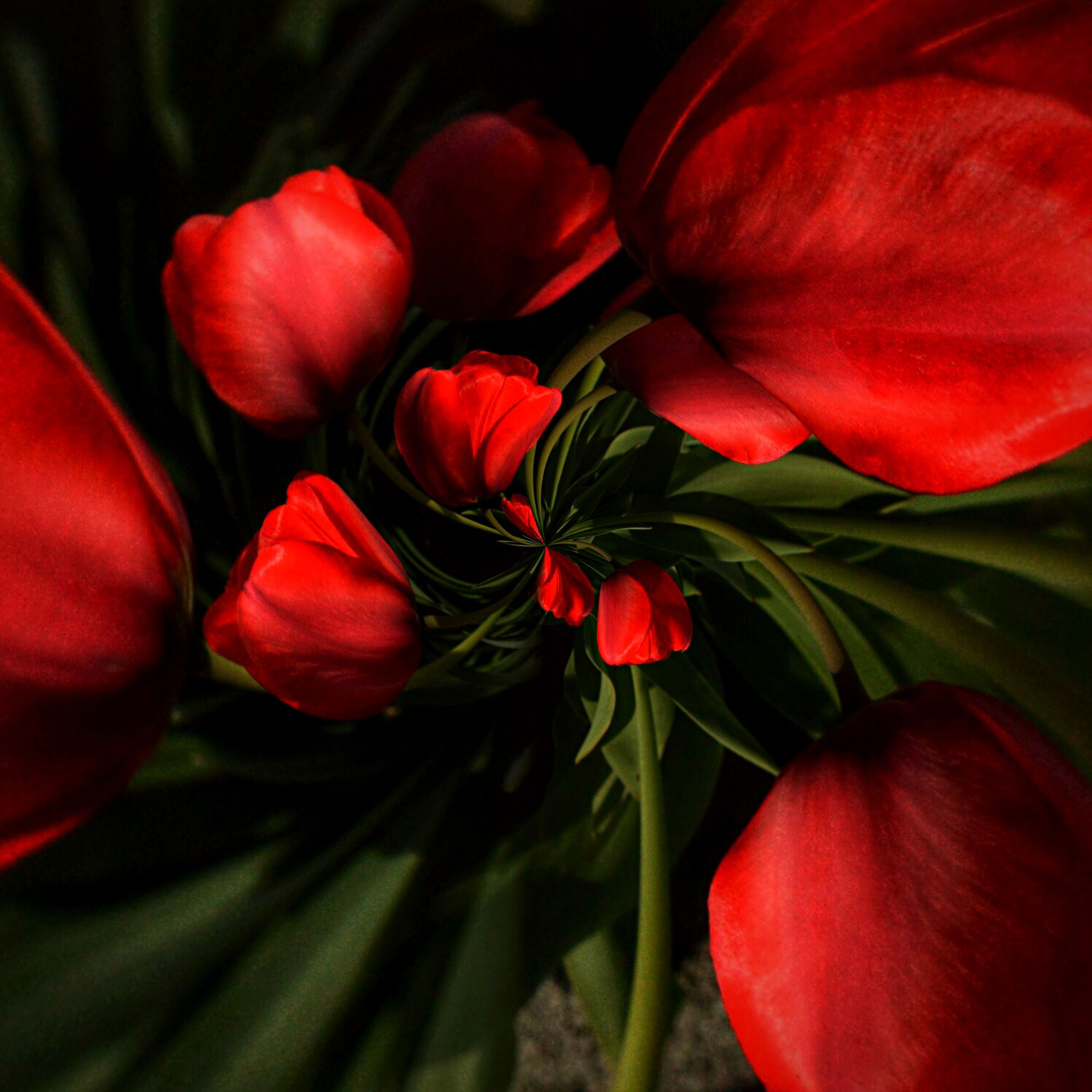 red, flower, freshness, petal, flower head, tulip, growth, fragility, beauty in nature, close-up, nature, plant, blooming, no people, vibrant color, focus on foreground, stem, outdoors, blossom, day