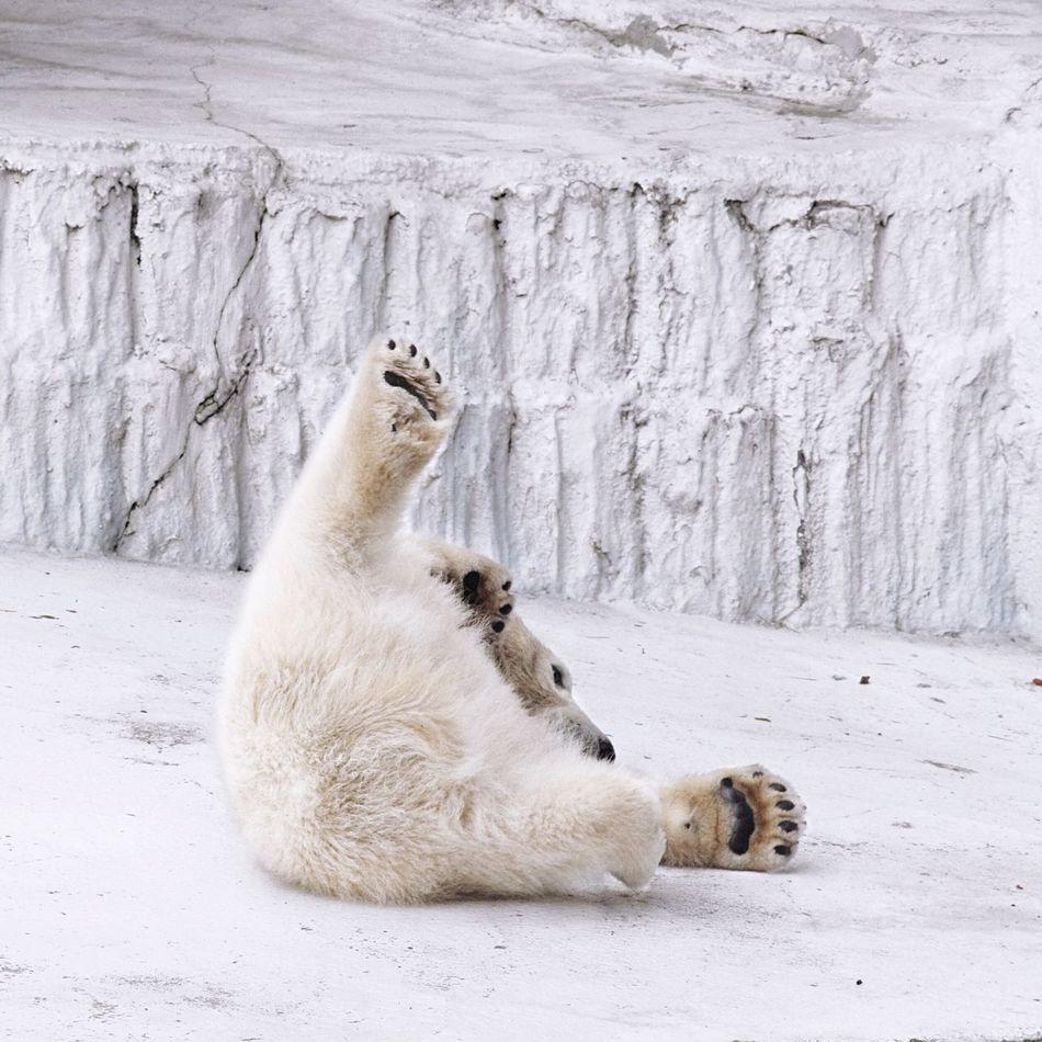 Beautiful stock photos of polar bear, Animal Themes, Animals In The Wild, Bear, Day