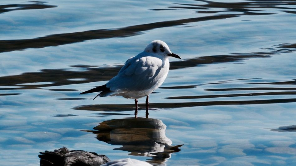Bird Animal Themes Animals In The Wild Water One Animal Animal Wildlife Nature Outdoors No People Day Perching Lake Beauty In Nature Sky Waiting For Better Time Waiting Seagull Seagulls Waterbirds