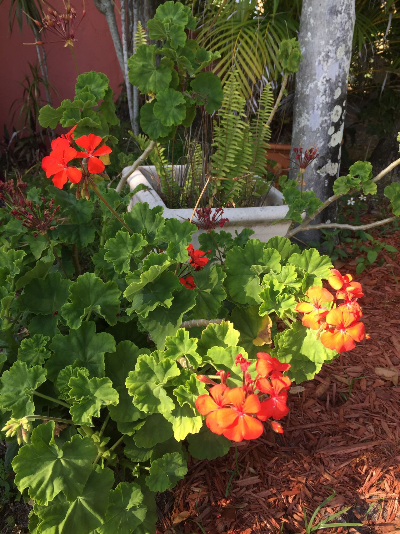 Geraniums in Florida garden Geraniums Florida Gardens Flowers,Plants & Garden Redflowers Floridalandscaping Flowers Swflorida Beauty In Nature SWFloridainMarch Lotsoftagsforoneflowerphoto!