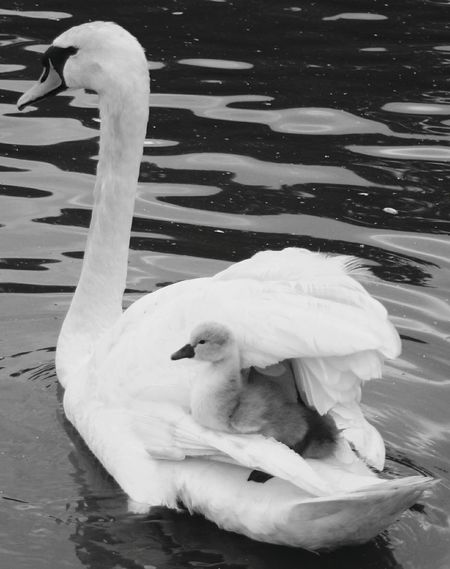 Mother & Daughter Mother And Son Swan Black And White Black & White River Water Oxford Piggyback Protection