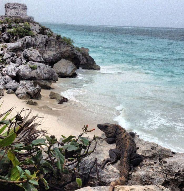 Mexico Iguana Vacation Maya Sea Caribean