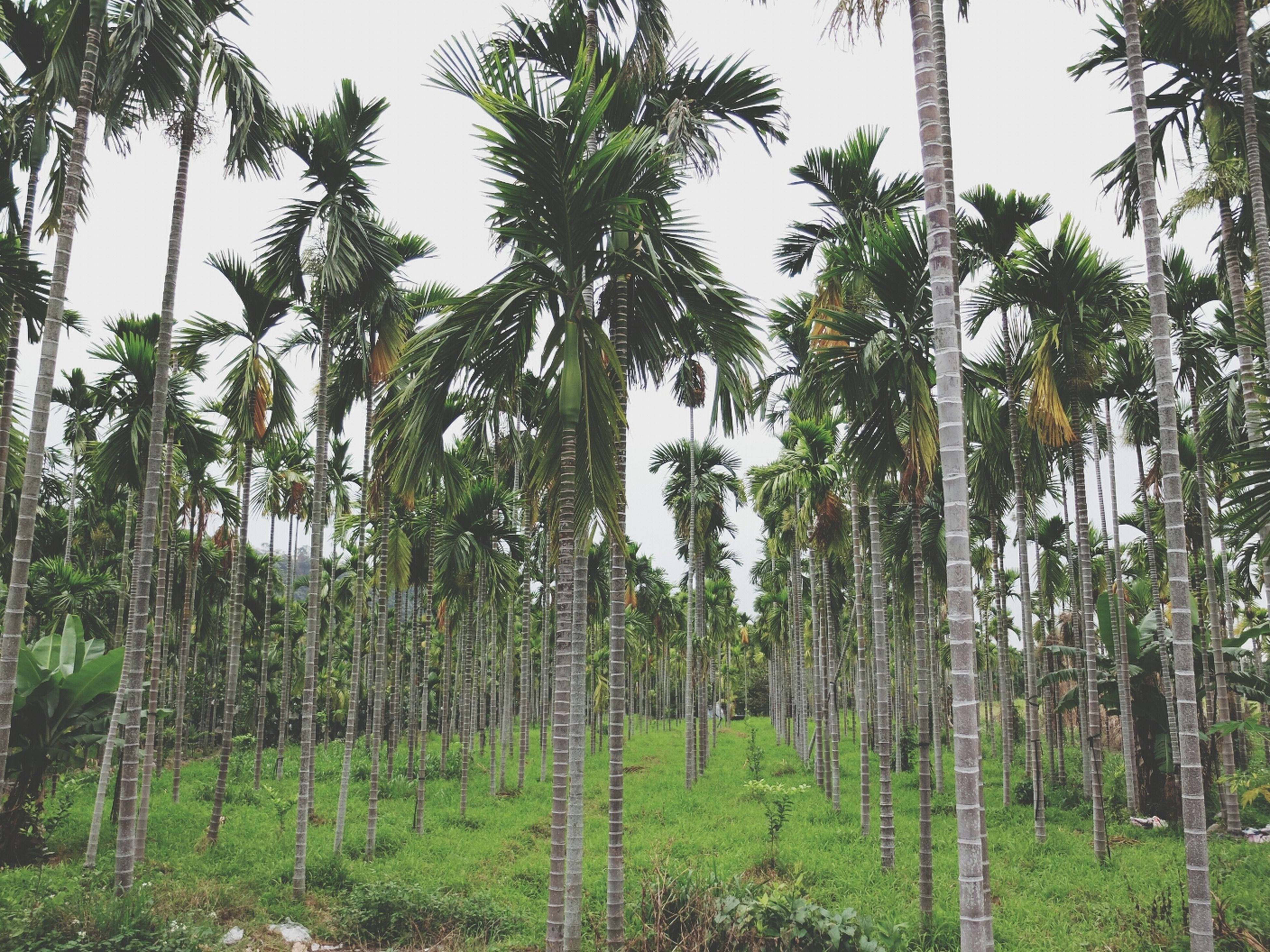 tree, growth, tree trunk, green color, tranquility, palm tree, nature, tranquil scene, beauty in nature, forest, scenics, branch, plant, low angle view, day, sky, clear sky, green, lush foliage, non-urban scene