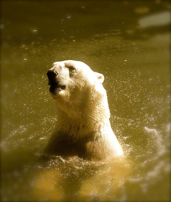 Beautiful stock photos of polar bear, Animal Hair, Animal Themes, Animals In The Wild, Day