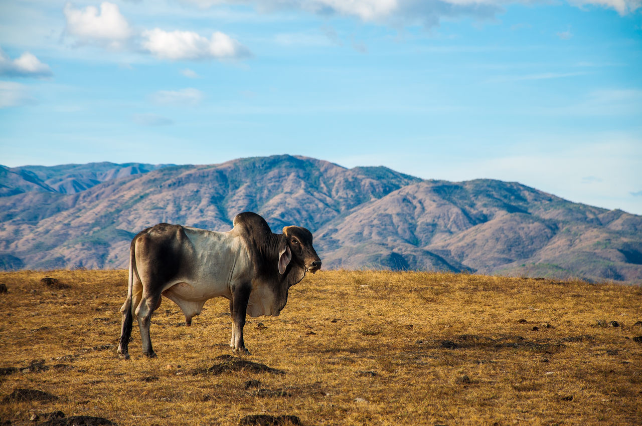 A cow in the desert with hills behind it. Agriculture Animal Bovine Country Countryside Cow Day Desert Dry Farmland Field Grass Grazing Hills Landscape Livestock Mammal Mountain Nature Nature Outdoors Ranch Rural Scenics Summer