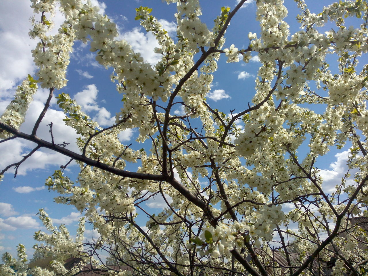 tree, branch, low angle view, nature, beauty in nature, flower, growth, day, no people, blossom, springtime, outdoors, sky, fragility, freshness, close-up, flower head
