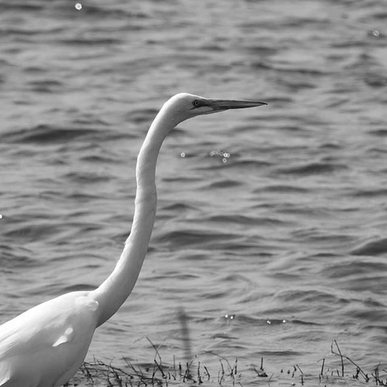one animal, water, animals in the wild, animal themes, nature, lake, bird, no people, outdoors, day, beak, swan, close-up, beauty in nature, flamingo