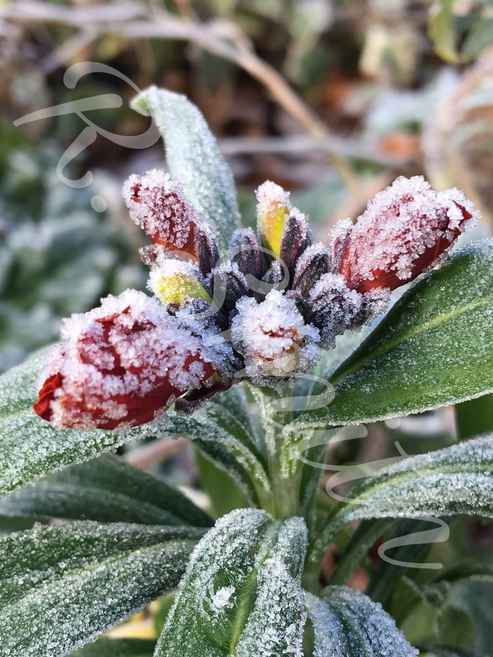 cold temperature, snow, winter, nature, frozen, plant, weather, frost, ice, outdoors, beauty in nature, day, close-up, leaf, growth, no people, fragility, freshness