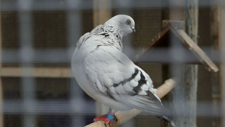 Animal Themes Bird Blurry Foreground Caged Close-up Focus On Background Grey Indoors  Nature No People One Animal Pigeon