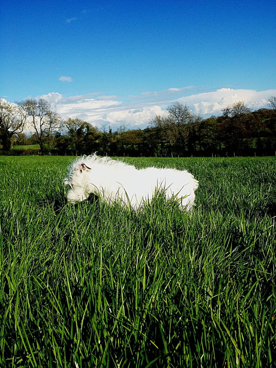 Dog Grass Tranquility Tranquil Scene Beauty In Nature Sky Cloud Blue Countryside Nature Day Field Grassy Bindi Uncultivated Green Animal Scenics Family