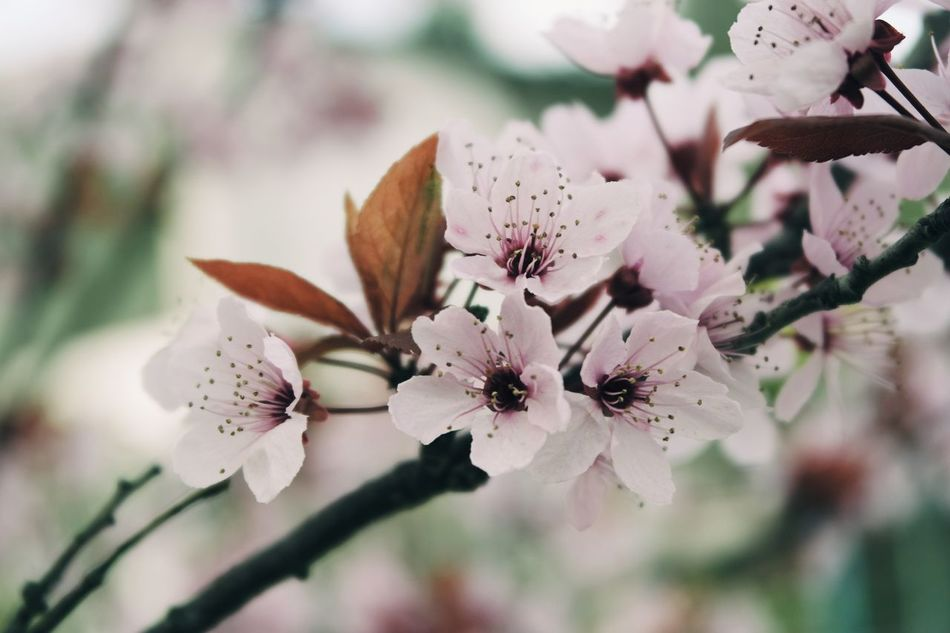 Flower Nature Beauty In Nature Freshness Springtime Plant Growth Close-up Blossom Flower Head Fragility No People Outdoors Day Tree Almond Tree Branch