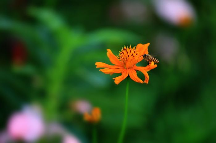 Flower Growth Petal Beauty In Nature Fragility Freshness Nature Flower Head Orange Color Plant Focus On Foreground Blooming No People Outdoors Day Close-up Zinnia  Animal Themes
