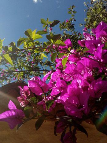 A.S ONOZU© , Bogotá , Colombia Pink Color Flower Purple Plant Sol Naturaleza Fascinante Garden Outdoors Living Plant Sky Jardin Naturaleza🌵🌻🎶 Grass Bogota,colombia. 2017 Onozu Bogotá Fullcolor Green Verde Colombia ♥  Park Petals🌸 Green Color Sin Fronteras