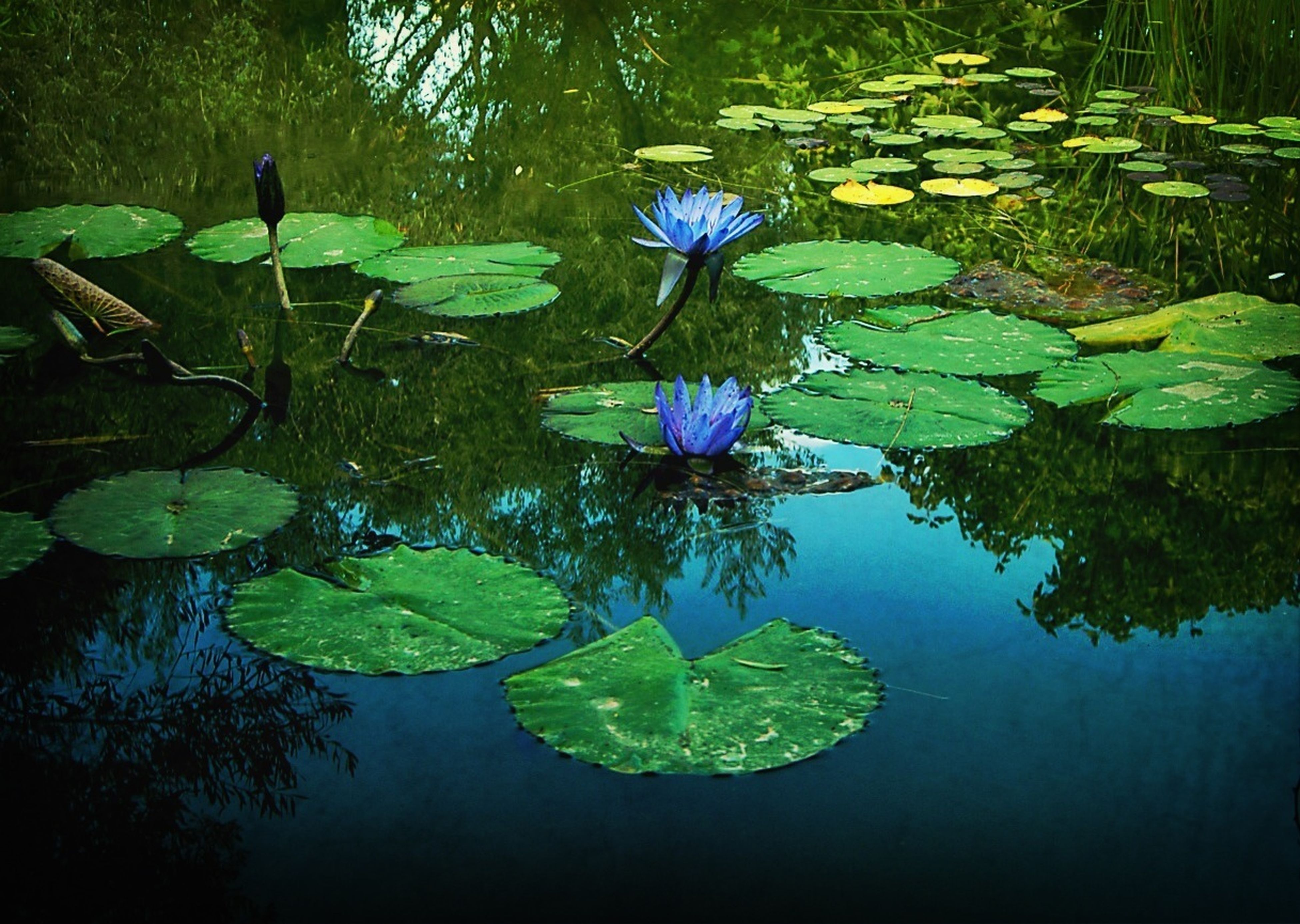 water, water lily, pond, leaf, lake, floating on water, reflection, lotus water lily, flower, growth, green color, beauty in nature, plant, nature, freshness, fragility, tranquility, petal, lily pad, waterfront