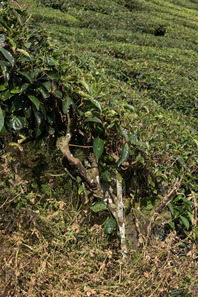 Old tea plants Close Up Nature Highland Highlands Malaysia Malaysia Scenery Old Plants Tea Plant Tea Plantations