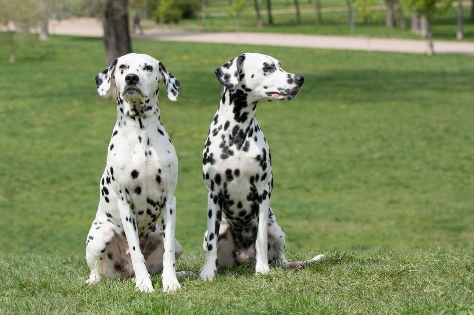 Close-up shot of beautiful Dalmatian dog Dalmatian Dalmatian Dog Dog Friends Grass Park Portrait Running