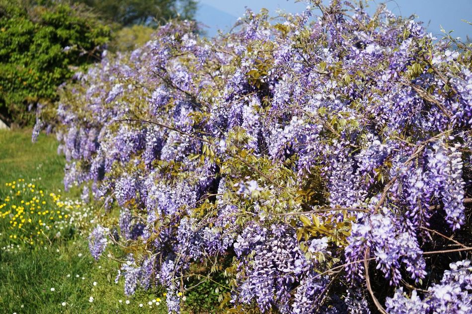 Beauty In Nature Flower Glicine Nature Outdoors Purlpe Violet Violet Flowers Wisteria Wisteria Flower