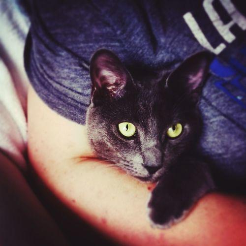 Pets Domestic Cat Cat Domestic Animals Katze Kater Russischblau