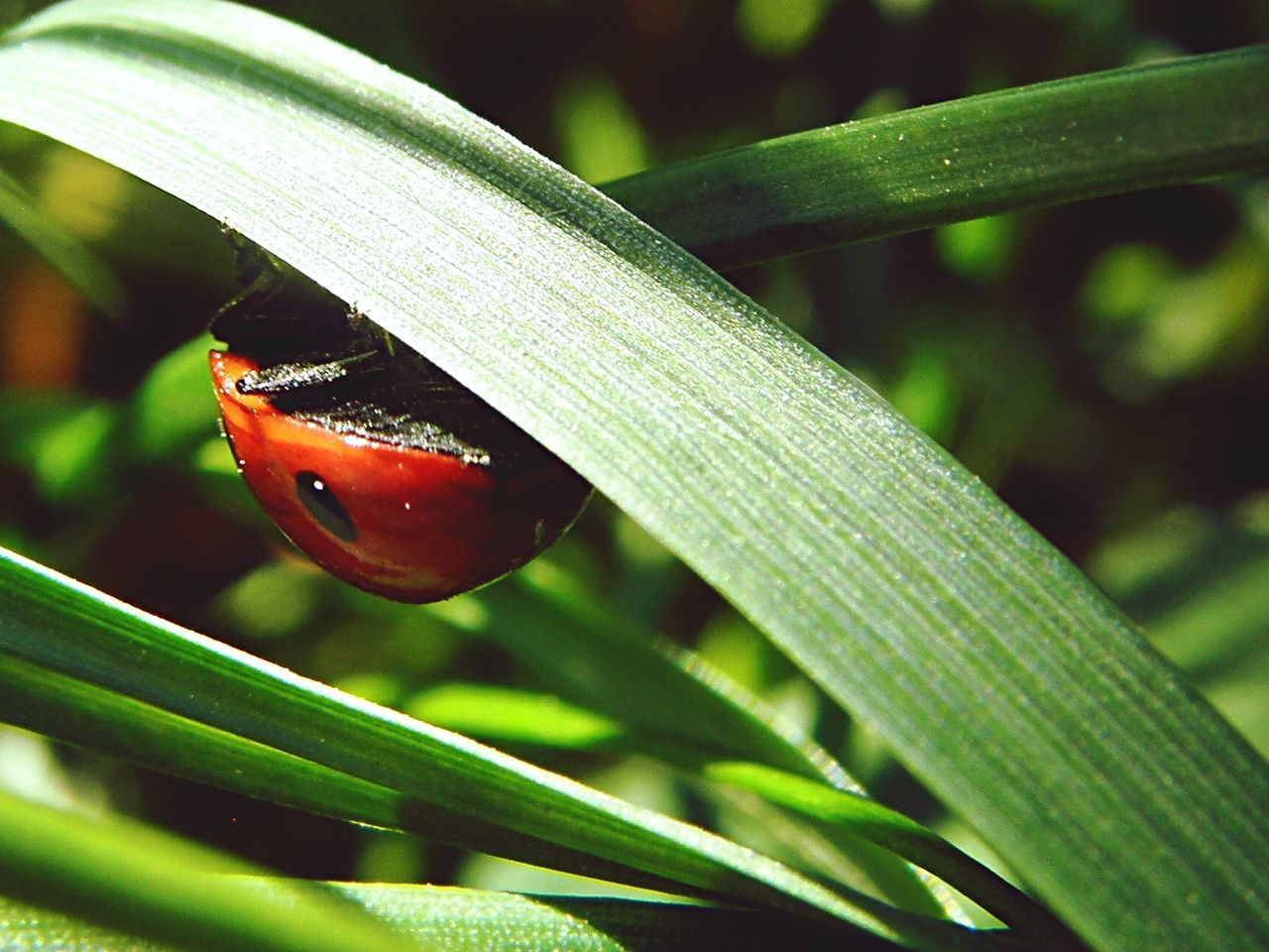 insect, one animal, animals in the wild, animal themes, close-up, green color, ladybug, animal wildlife, leaf, day, outdoors, plant, nature, focus on foreground, no people, growth, tiny, beauty in nature, fragility