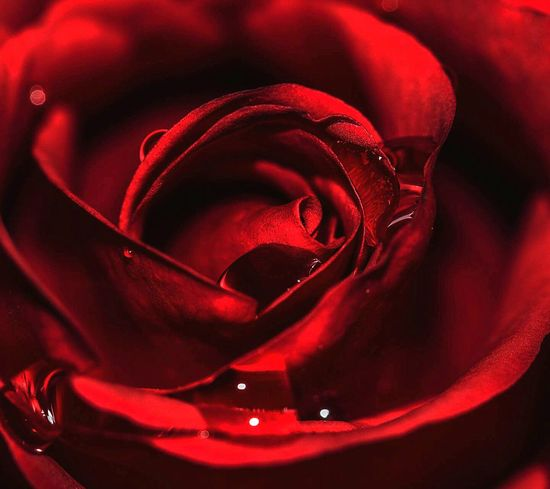 Love Roses Red Flower Love Gift Life Water Drops Sws❤ 🌷🌹🌸🌟 Eye4photography ❤❤❤❤❤❤❤❤❤❤❤❤❤ Roses🌹 Red Rose Love ♥