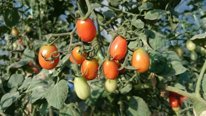 Tomatoes Greenhouse Garden Golzar XperiaZ1 Z1 Workplace i like this kind of tomato