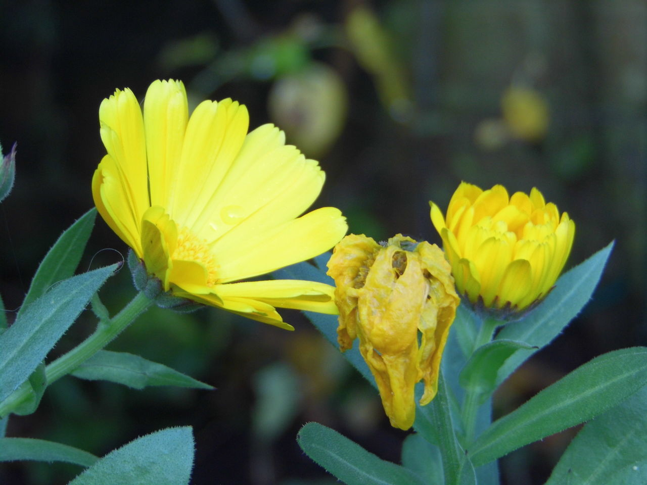 flower, yellow, petal, fragility, nature, beauty in nature, growth, freshness, flower head, plant, blooming, no people, outdoors, close-up, focus on foreground, day, springtime