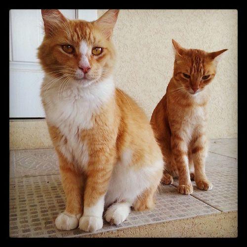 Yellow beauties! Cat Cats Yellowcat Instacats instapets petstagram catsofinstagram kitties picoftheday instakitty instagramcats instacat feralcat feral