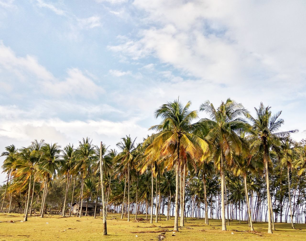 Coconut trees perspective view with old house near beach Tree Palm Tree Nature Sunset Sky Social Issues No People Outdoors Landscape Beauty In Nature Day Coconut beach