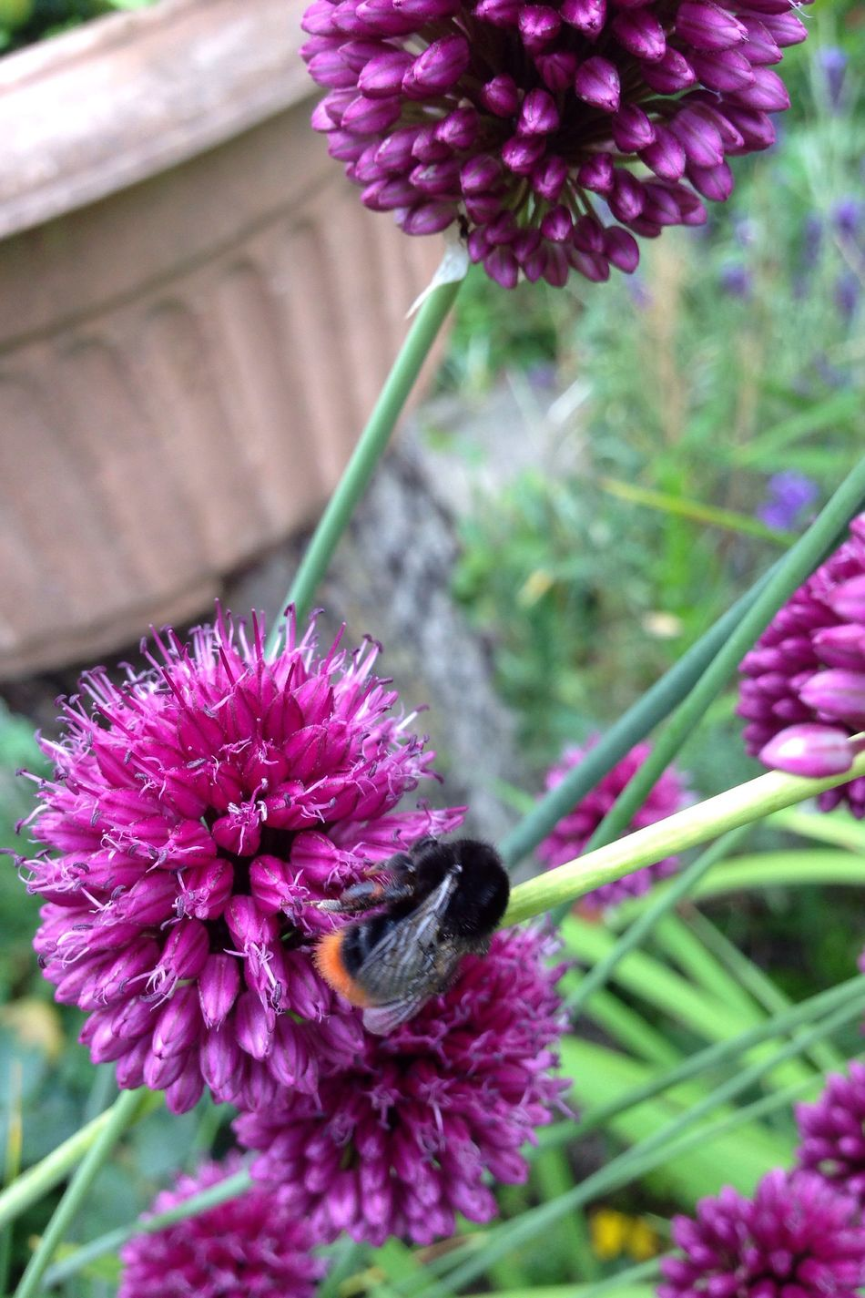 Lauch Kugellauch Zierlauch Garden Photography Garden Allium Flower Allium Sphaerocephalon Garten Pflanze Natur Bumble Bee Bumblebee Hummel