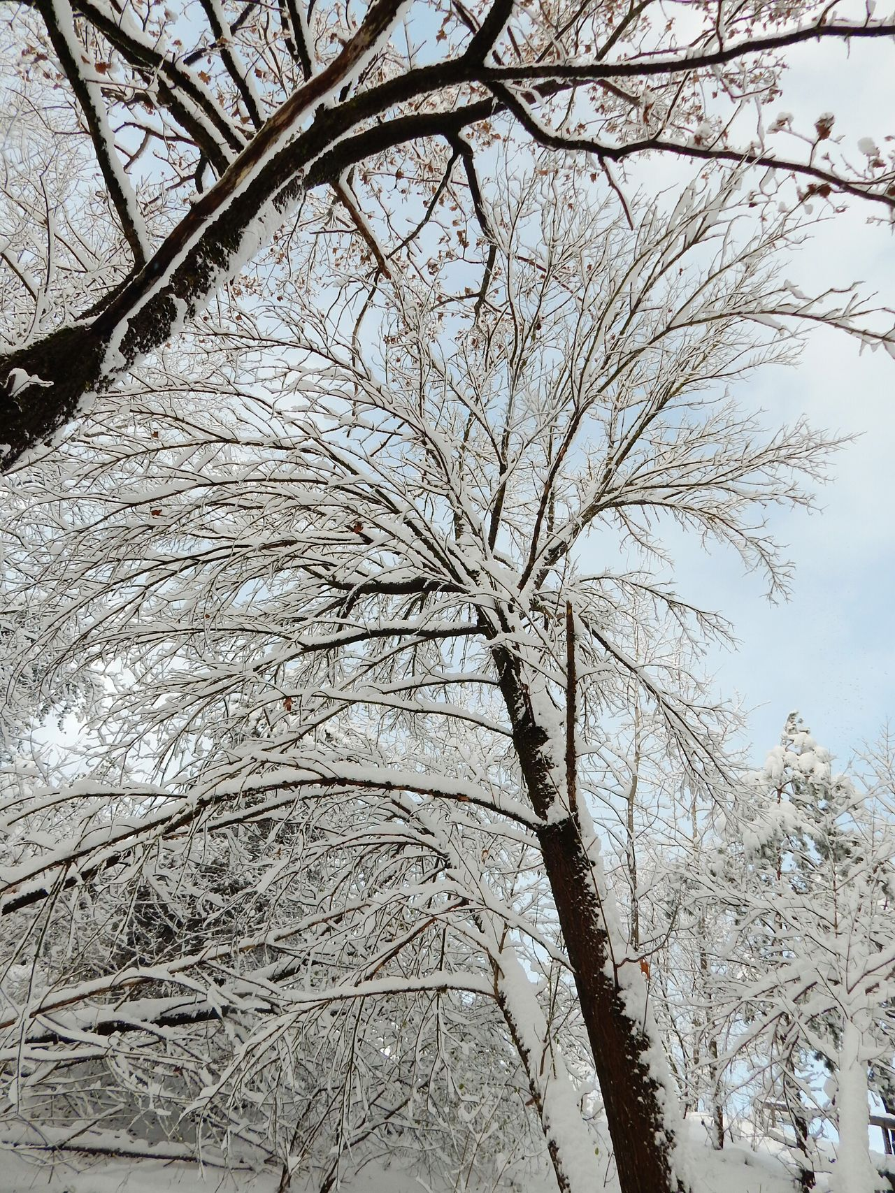 Tree Nature Growth Sky Branch Low Angle View No People Outdoors Close-up Beauty In Nature Day Forest Latvia Riga Nature Beauty In Nature Snow Tree Cold Temperature Non-urban Scene Textured