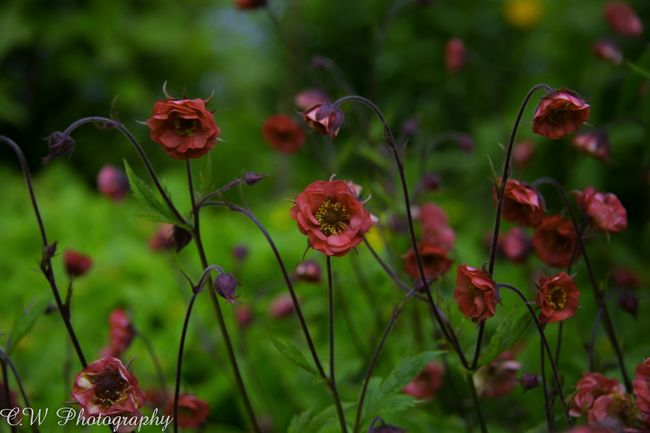 Geum Flower Flames Of Passion Flowers Flower Collection Red