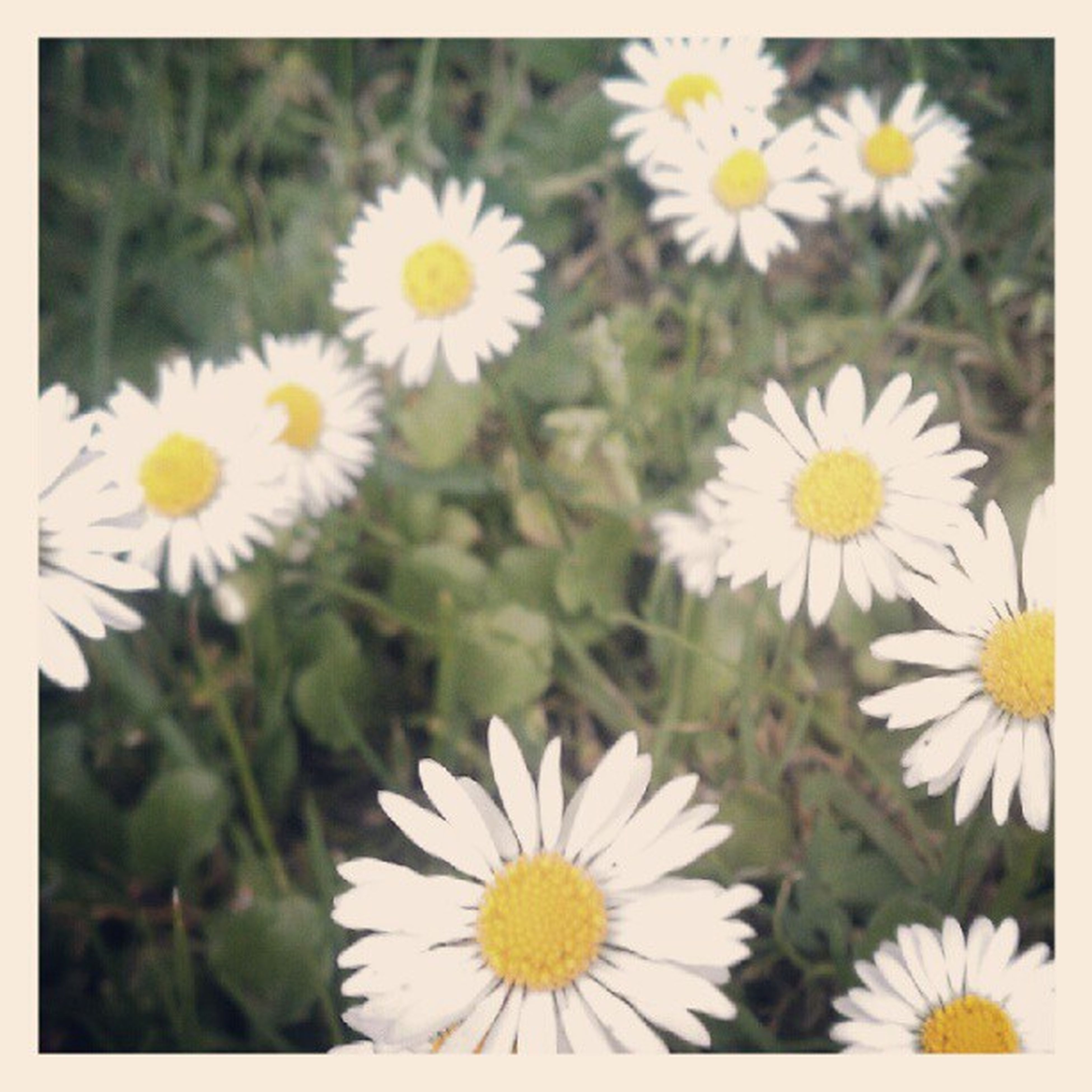 flower, freshness, petal, fragility, white color, daisy, flower head, growth, transfer print, beauty in nature, blooming, pollen, nature, plant, focus on foreground, close-up, field, yellow, auto post production filter, high angle view