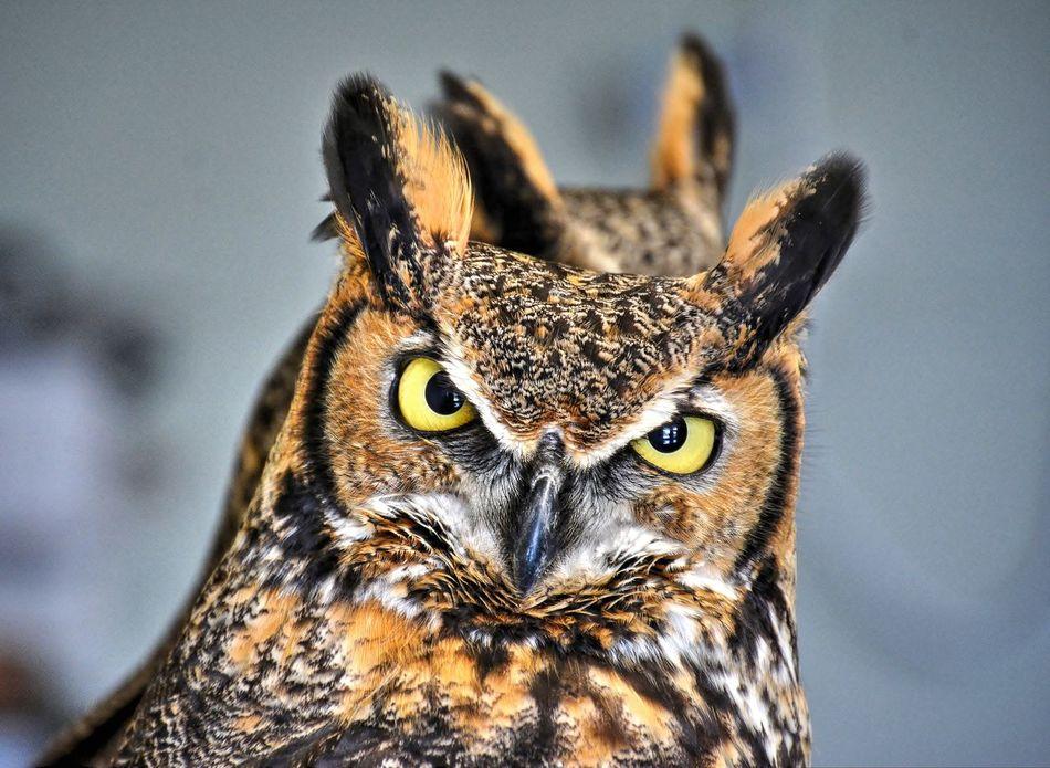 Beautiful stock photos of eule, Alertness, Animal Themes, Animal Wildlife, Beak