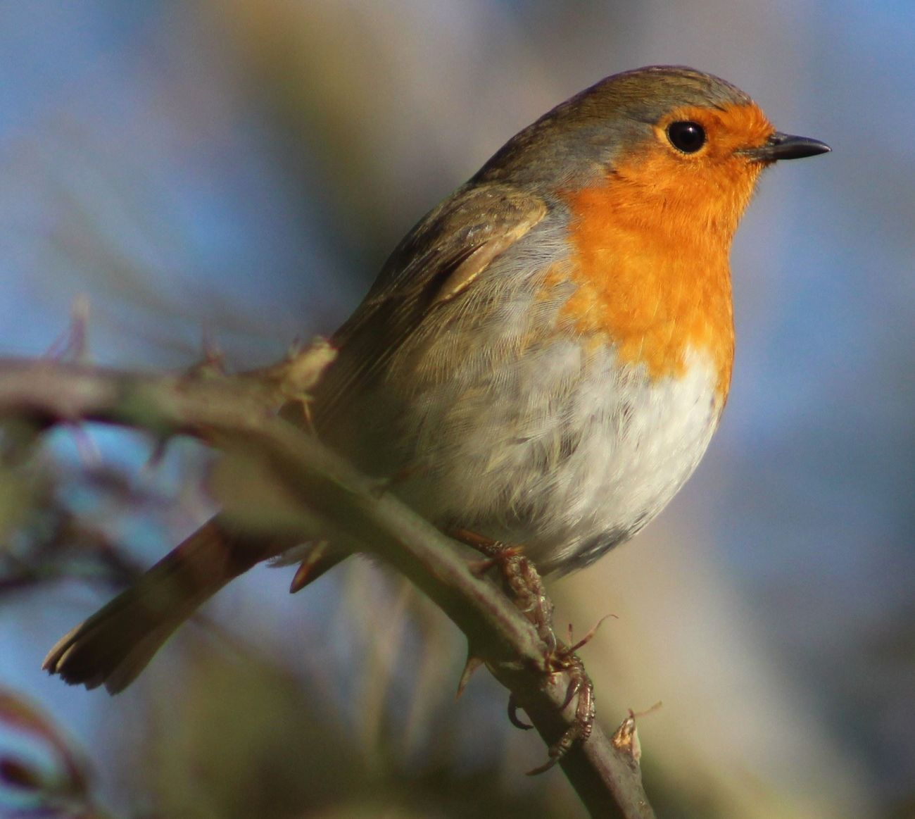 Animal Themes Animal Wildlife Beauty In Nature Bird Nature One Animal Outdoors Perching Relaxing Robin Robin Redbreast First Eyeem Photo EyeEmNewHere