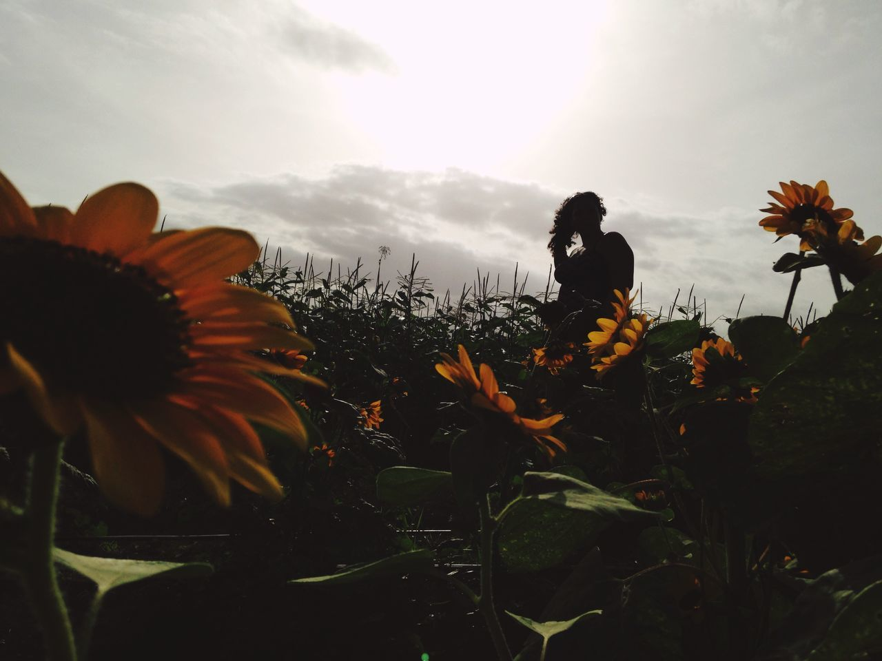 Sunflower EyeEm Nature Lover Nature Silhouette Flowers IPhoneography Outdoors Field