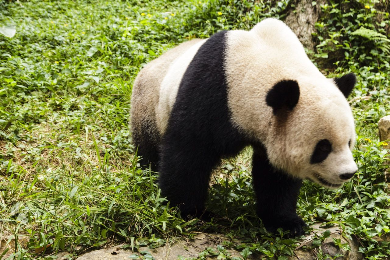 Beautiful stock photos of panda, Animal Themes, Animals In The Wild, Day, Field