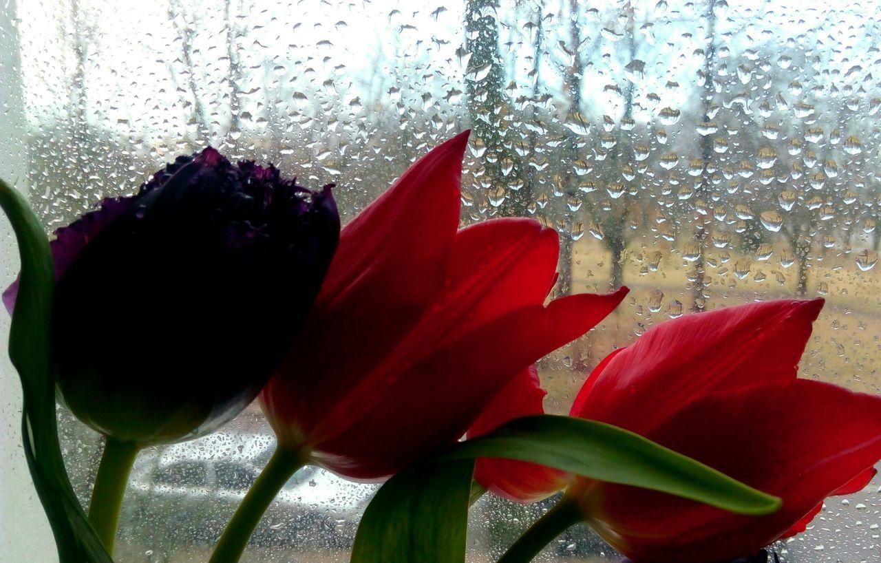 Tulips🌷 Tulips Tulip Love Tulips Flowers Freshness Drops Of The Rain Raindrops Spring Flowers Springtime ,march Showcase Beauty In Nature Springtime Fragility Flower Head Eyem Best Shots Femalephotographerofthemonth