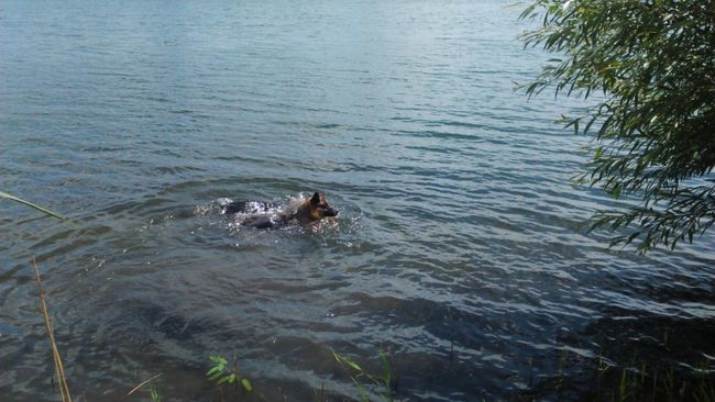 there's actually two dogs but one is Underwater Under The WaterLandscape Leaves In Water Splashing Water Dog Dog Life Swimming Dog Swimming In The Water In The Lake Water Lake Ripples Ripples In The Water German Shepherd Splash Animal Themes Nature Dogs Canine Brave Silly German Shepherds