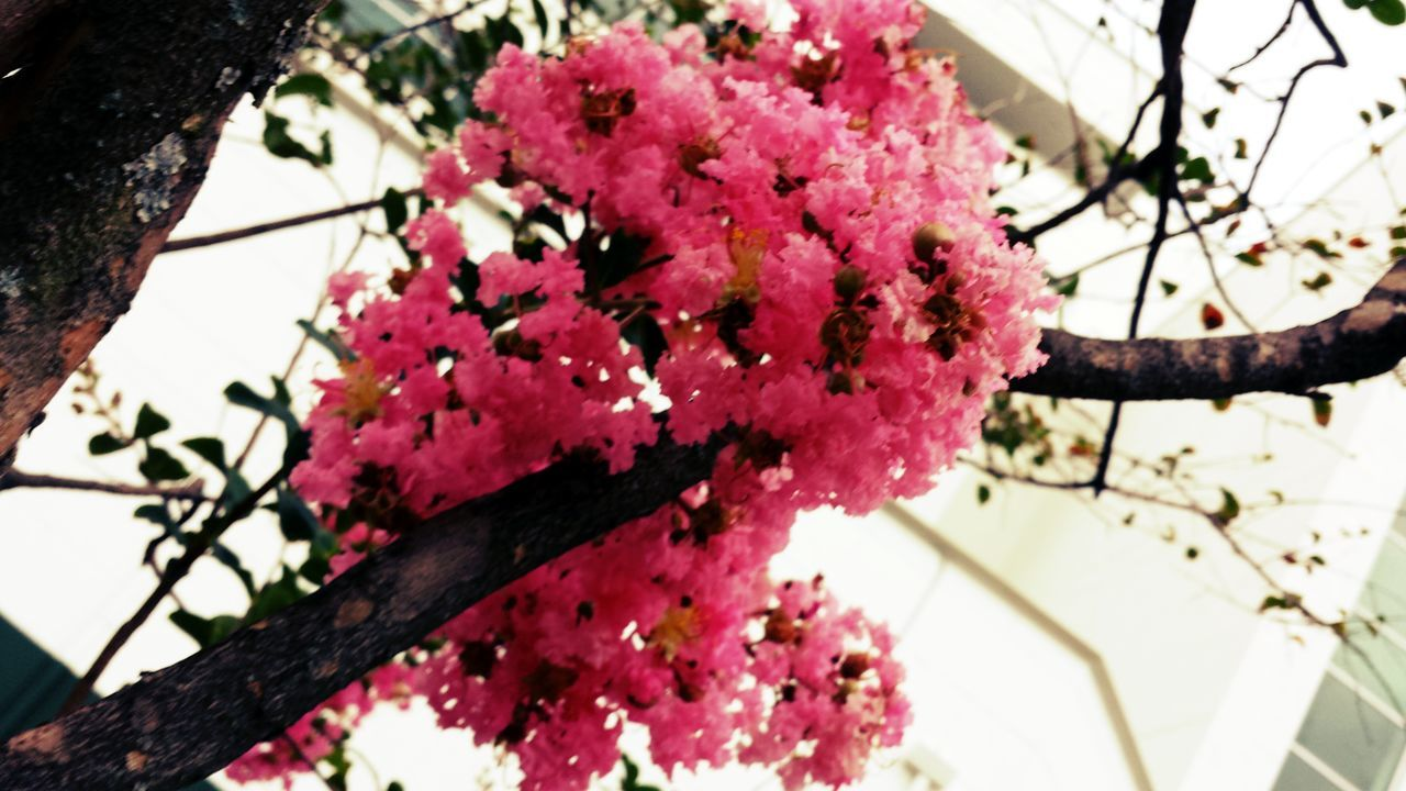 growth, tree, flower, low angle view, beauty in nature, nature, branch, fragility, day, springtime, freshness, no people, outdoors, blossom, close-up, pink color, plant, flower head