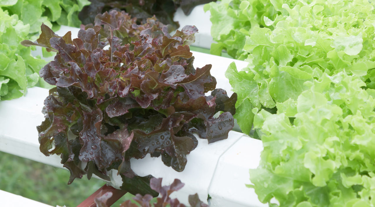 salad, no people, leaf, vegetable, close-up, freshness, food, healthy eating, nature, day, outdoors