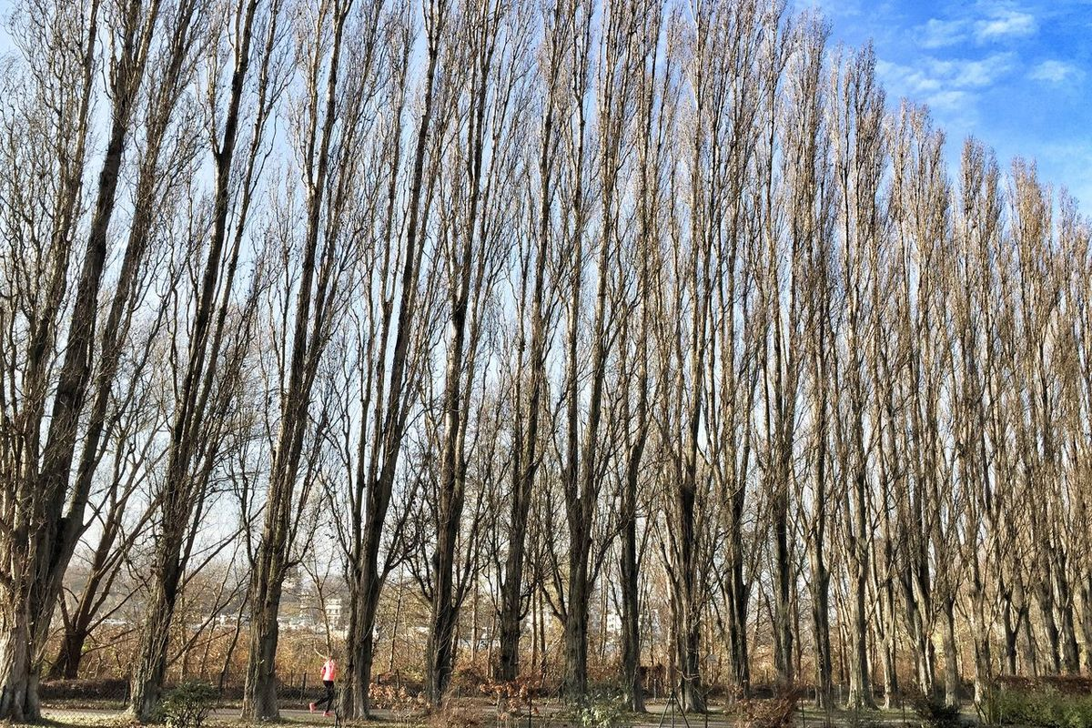 Poplars Celebrate Fitness of Pink Panther Trees Trees In A Row Outdoors No People Queuing Day Blue Sky Autumn Collection Autumn Colors Beauty In Nature Nature On Your Doorstep Plane Tree
